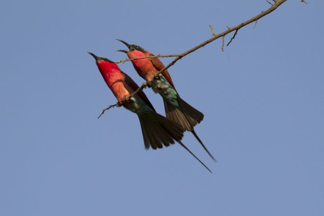 Okuti Camp Carmine Bee Eaters