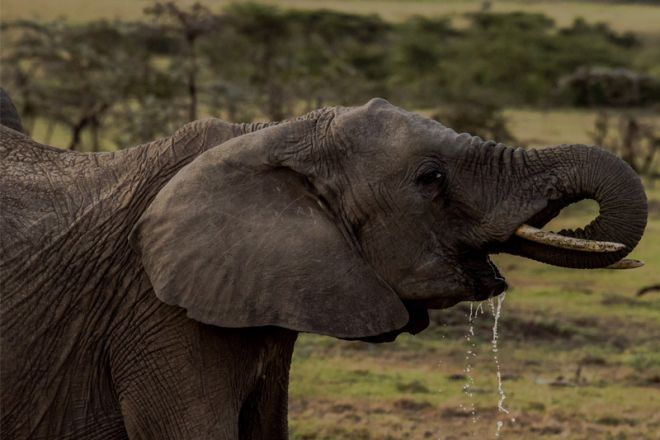 Ol Seki Hemingways Mara Elephant