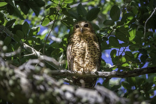 Pelo Camp Pels Fishing Owl