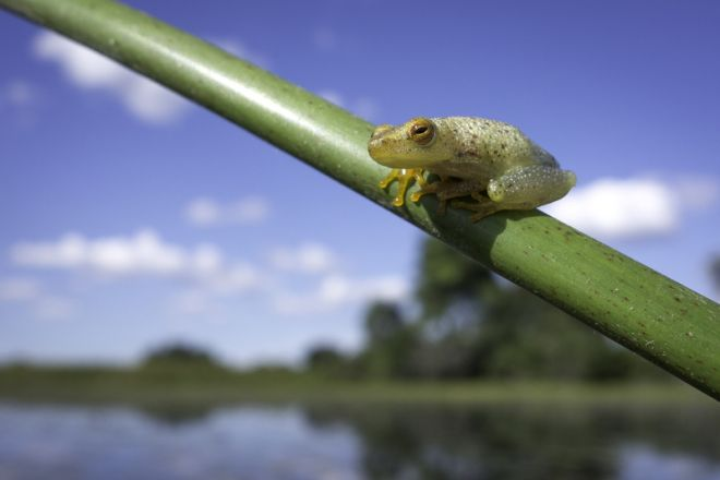 Pelo Camp Reed Frog