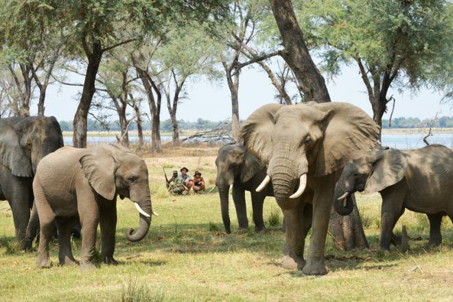 Sausage Tree Camp Walk Elephant