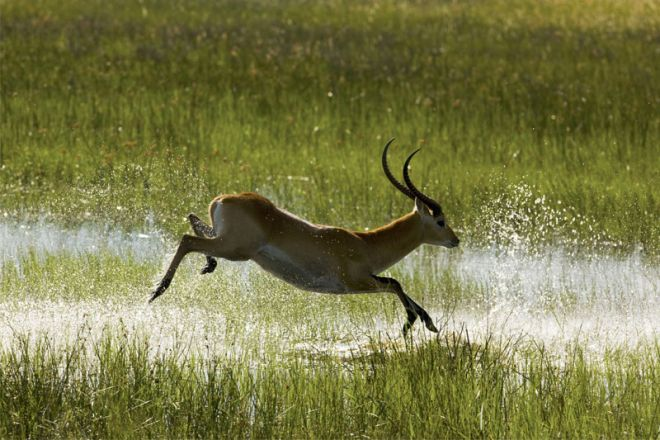 Selinda Camp Lechwe Jumping Water