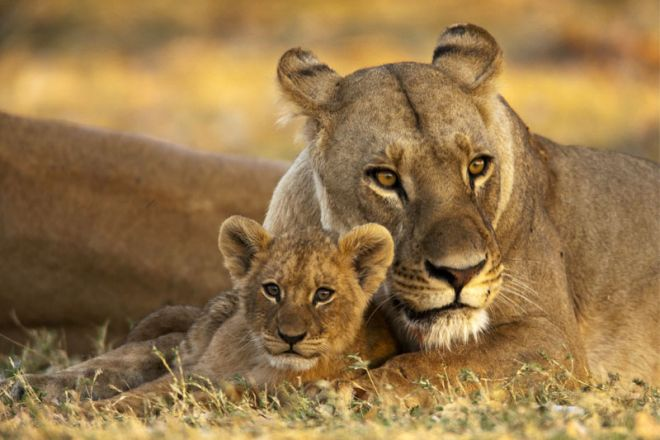 Selinda Camp Lioness and Cub