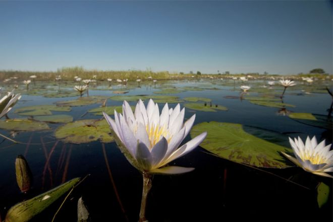 Selinda Camp Water Lily