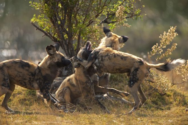 Selinda Camp Wild Dog Interacting