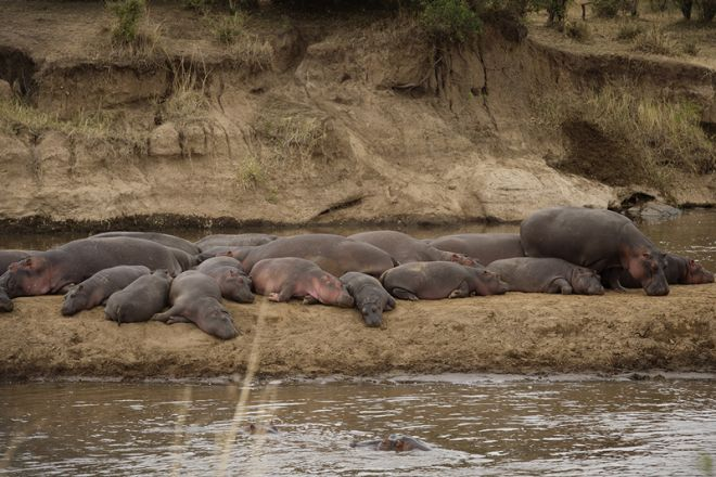 Serian's Nkorombo Mobile hippo pod out of water