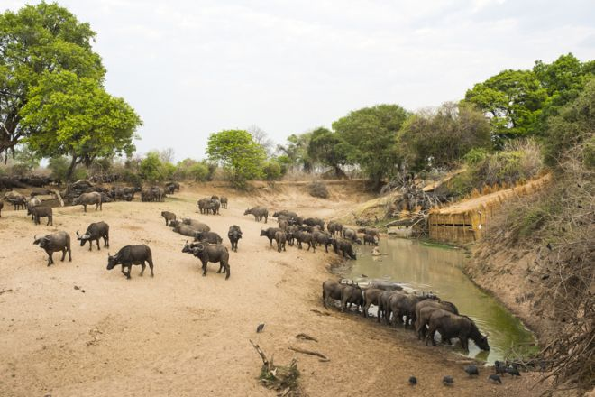 Shenton Safaris Last Waterhole Hide Buffalo