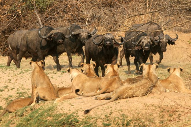 Shenton Safaris Lion Buffalo