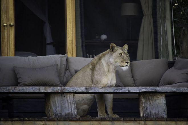 Shumba Camp Room Deck Lion