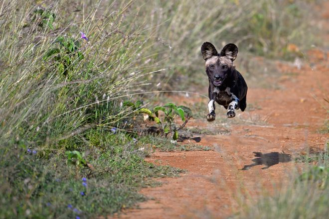 Sosian wild dog mid air