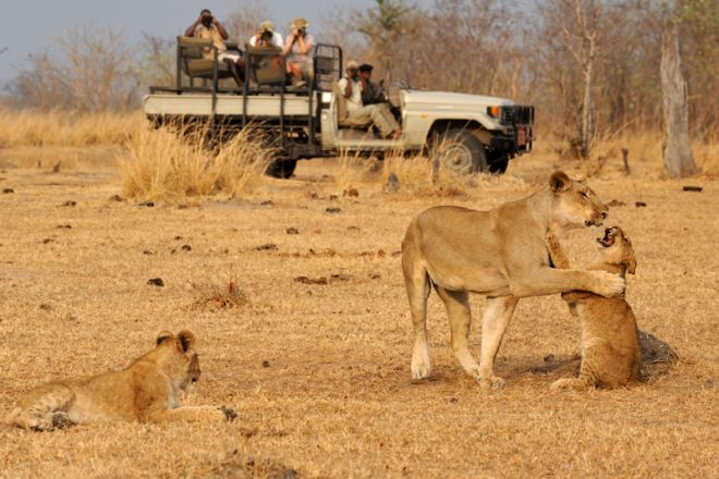 Tafika Camp Game Drive Lion Cubs