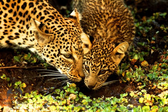 Tusk & Mane Mobile Camping Leopard and Cub