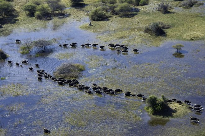 Vumbura Plains Buffalo Herd Delta