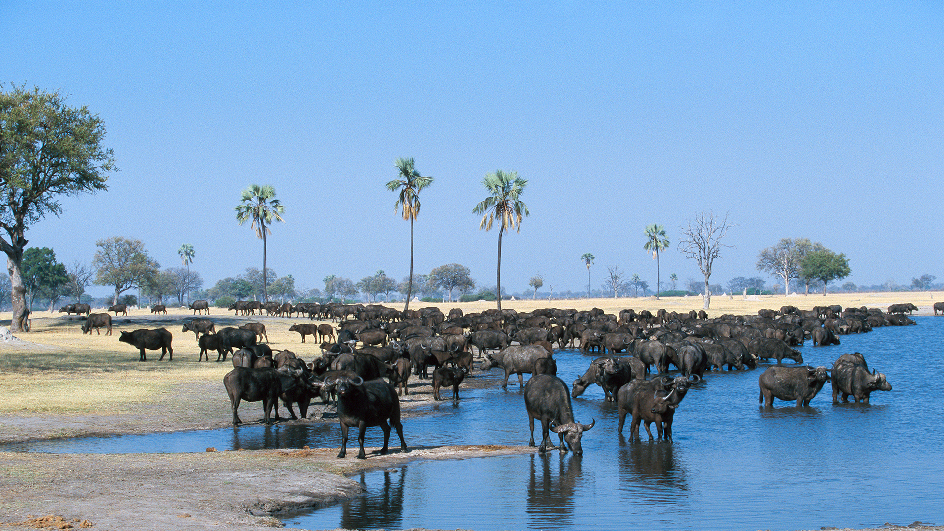news and blogs header buffalo herd by water