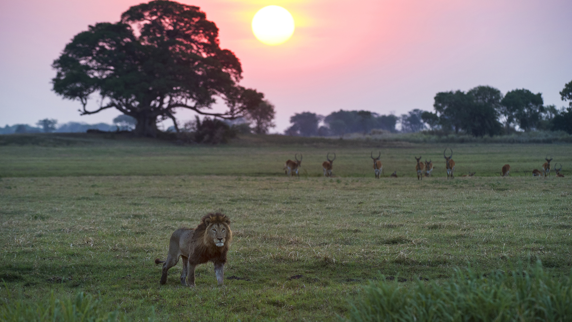 zambia when to travel busanga plains lion