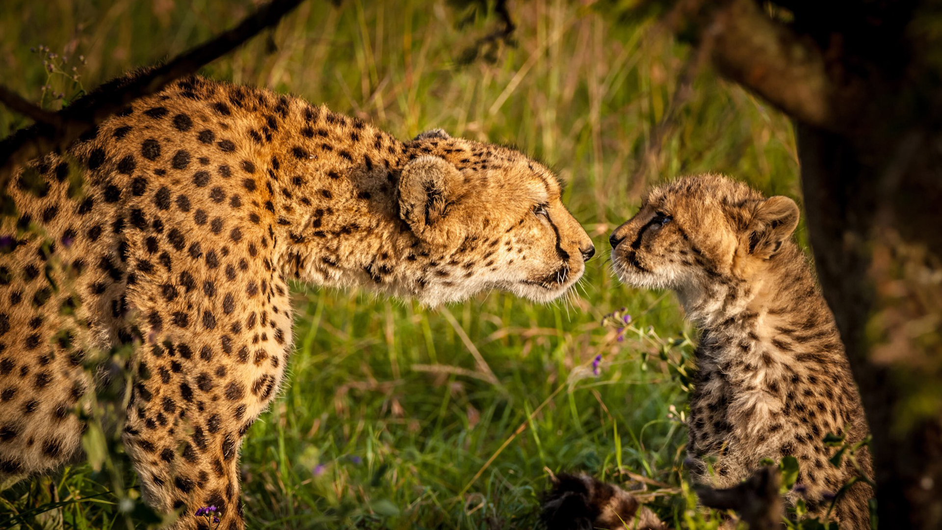 Join Our Team header cheetah and cub nose to nose