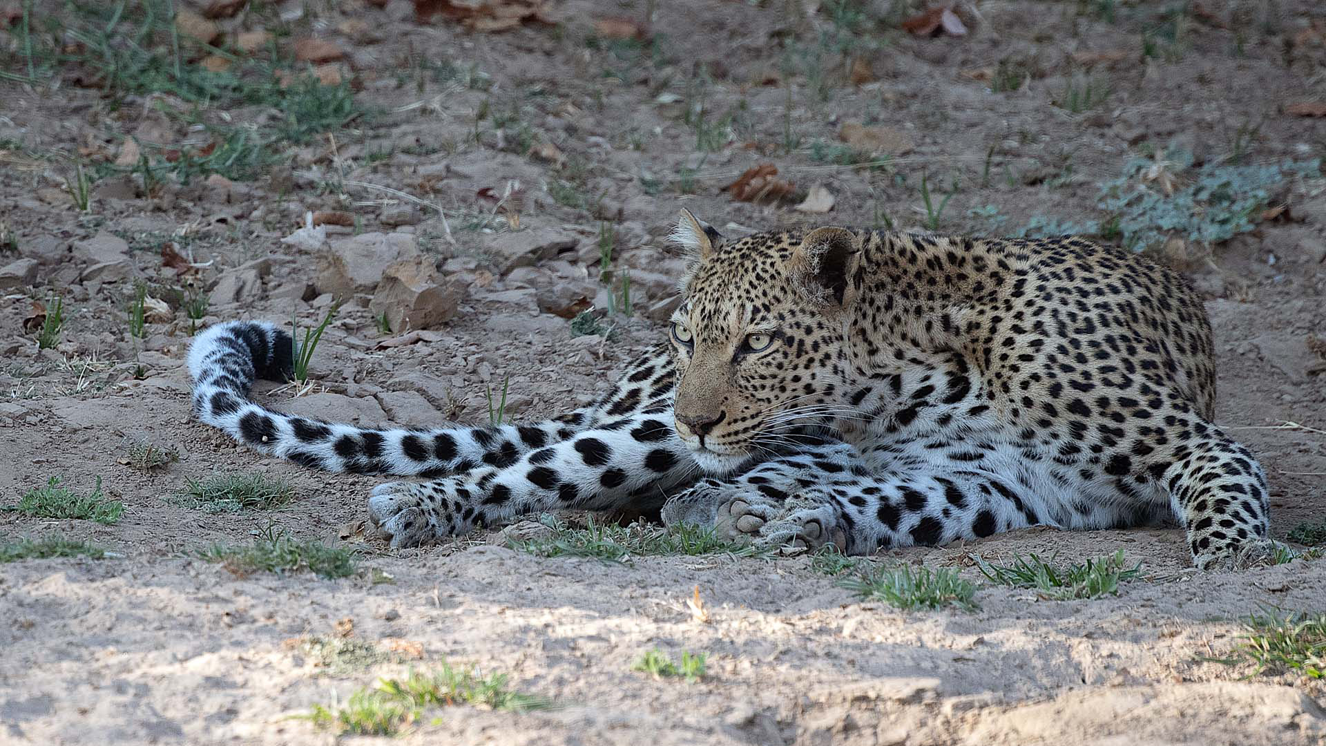 tanzania wildlife leopard lying on earth