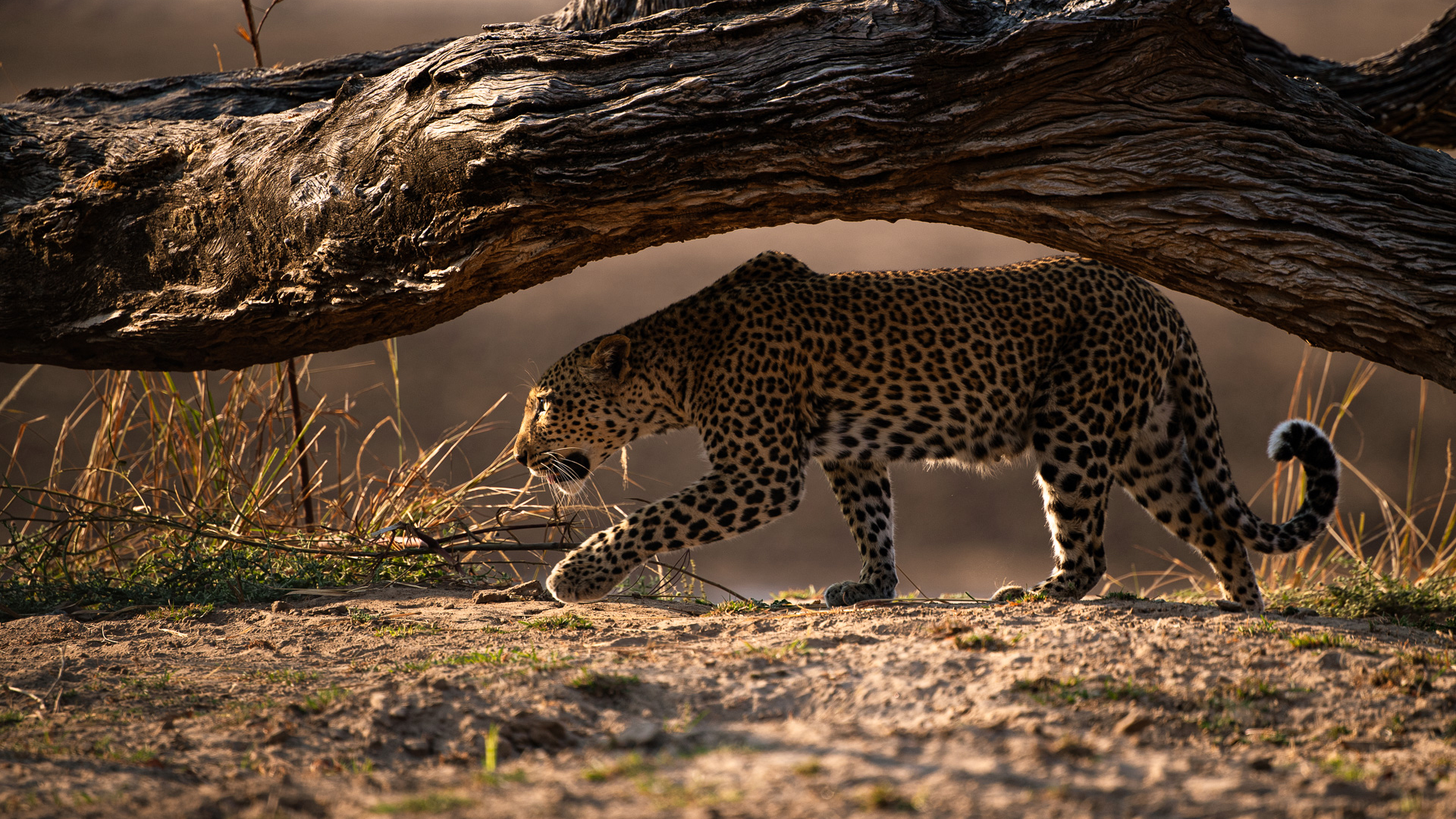 zambia wildlife leopard under branch