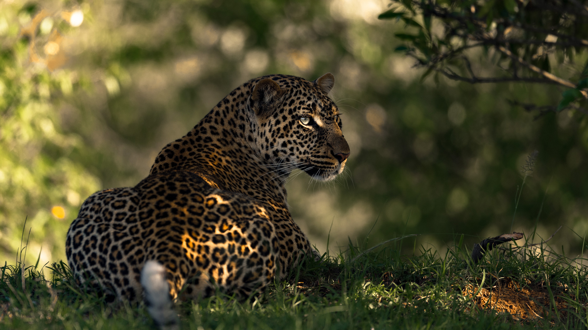 zambia regions south luangwa and north luangwa leopard white tail