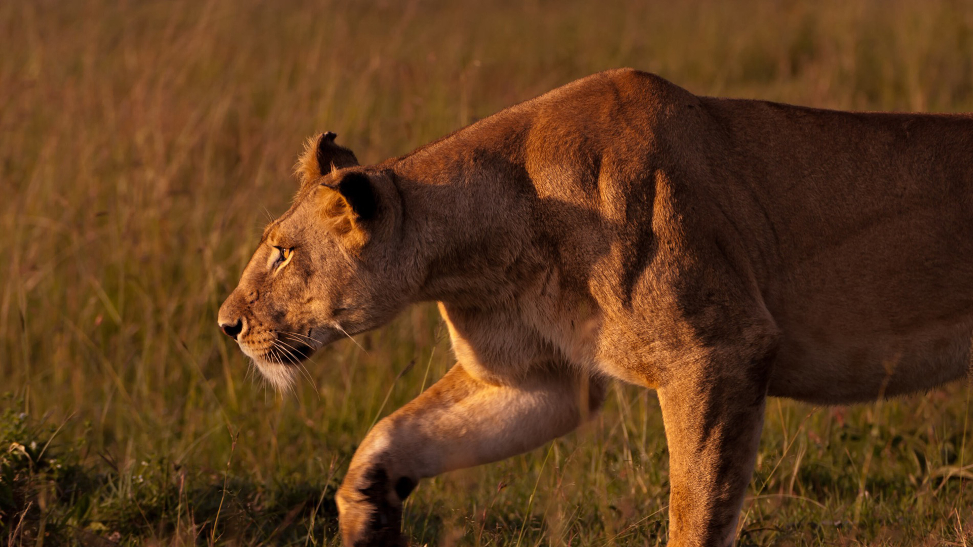 tanzania regions header lioness hunting