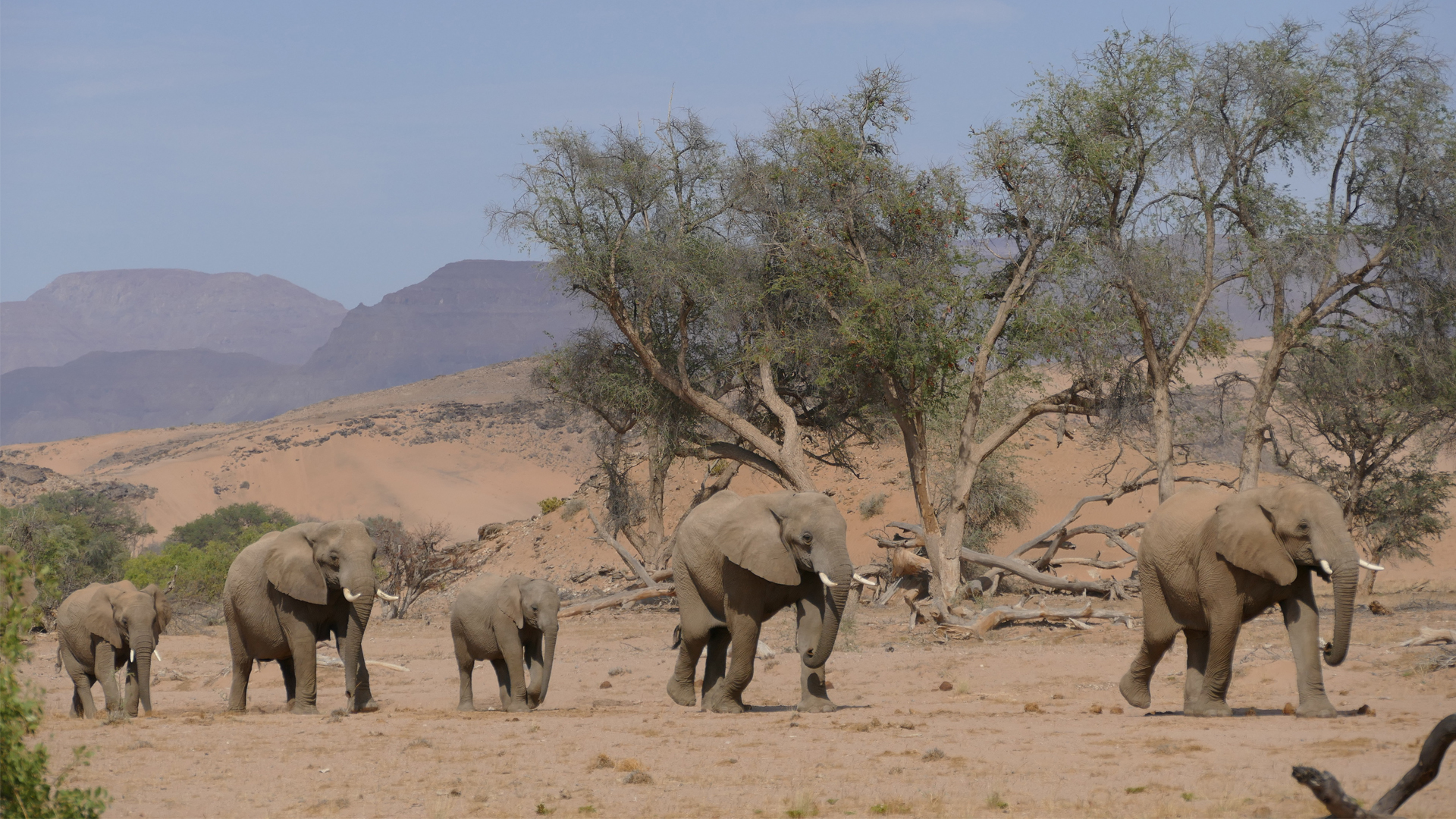 namibia wildlife highlights header desert elephants