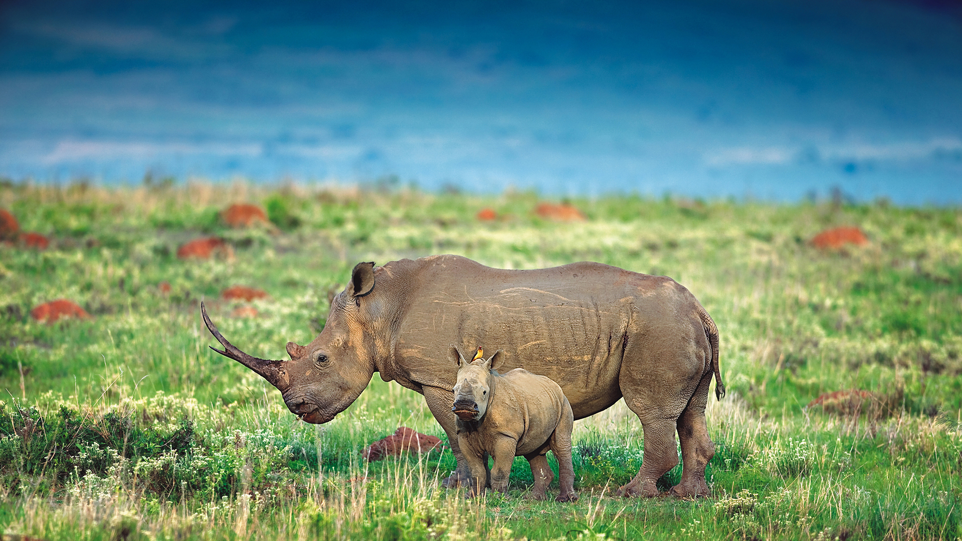 Responsible Tourism rhino and calf crater