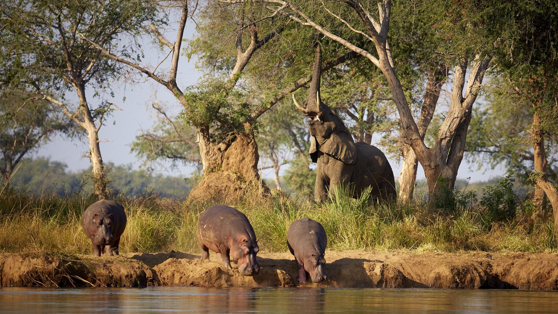 zambia regions header time + tide chongwe elephant reaching and hippos