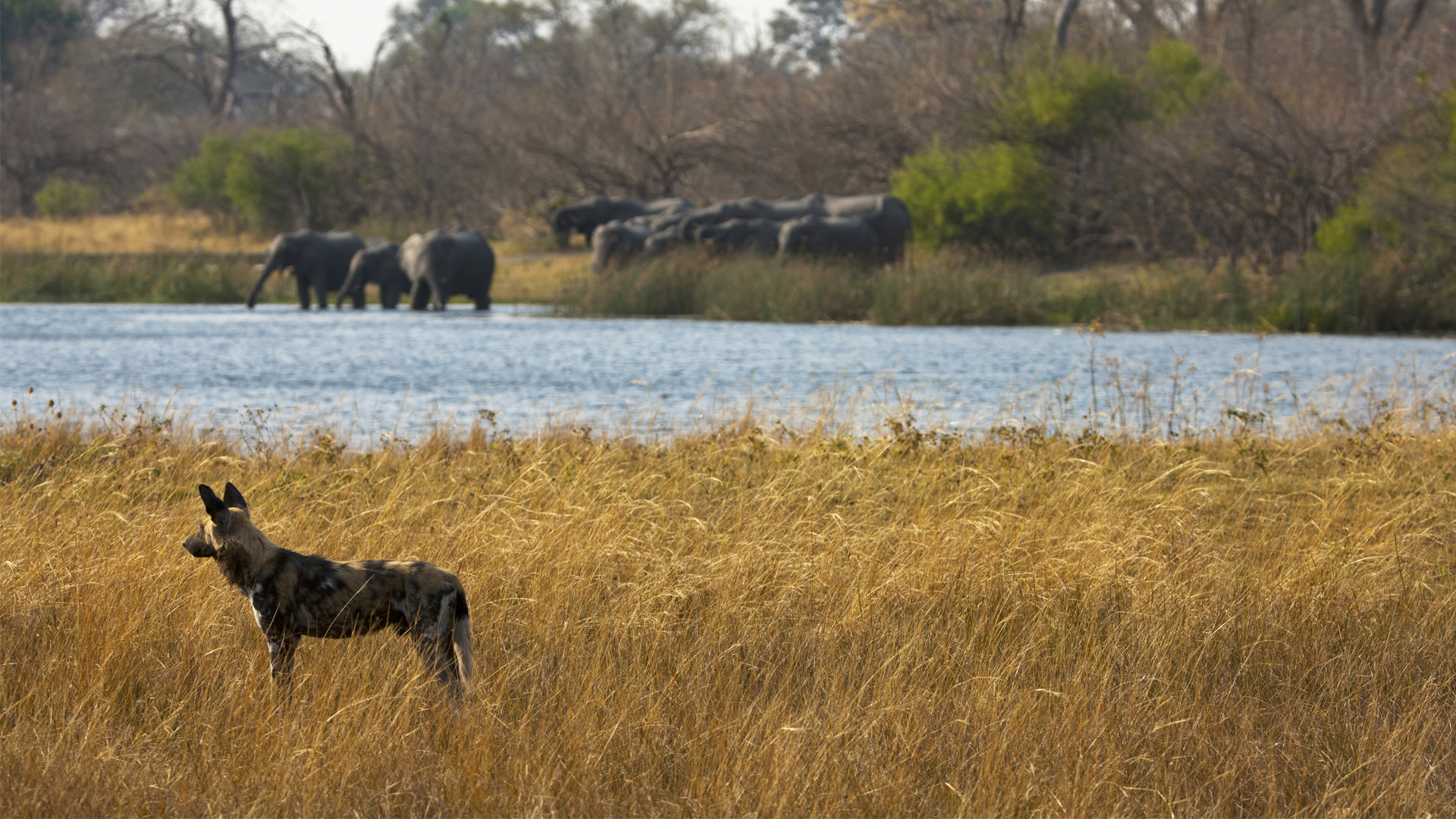 Botswana Regions linyanti zarafa wild dog and elephant