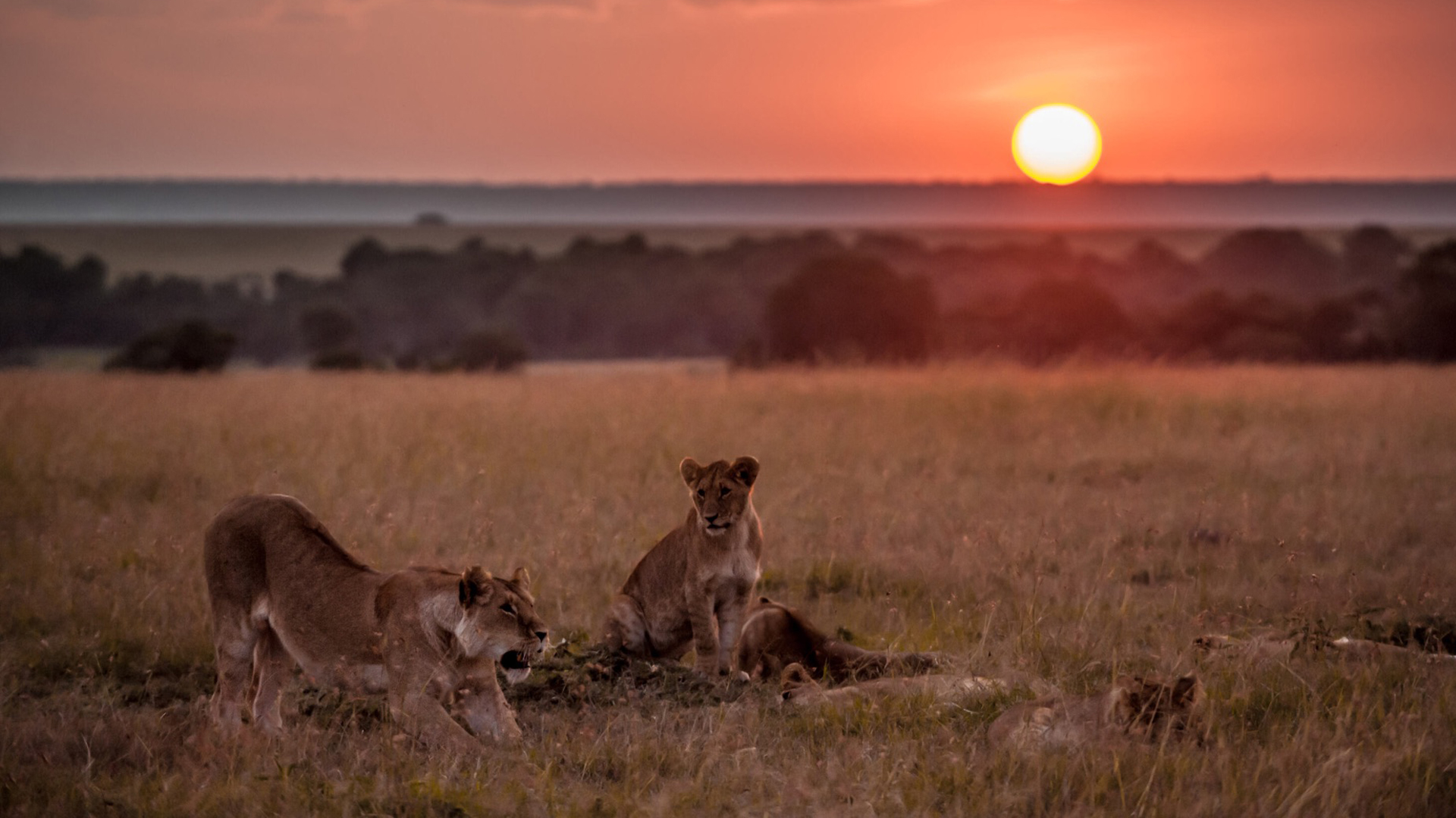 kenya regions masai mara lions sunset