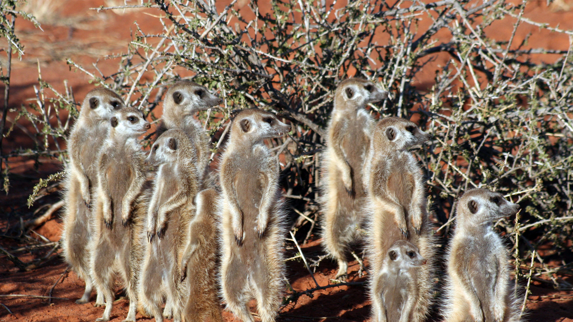 About Us header meerkats south africa tswalu
