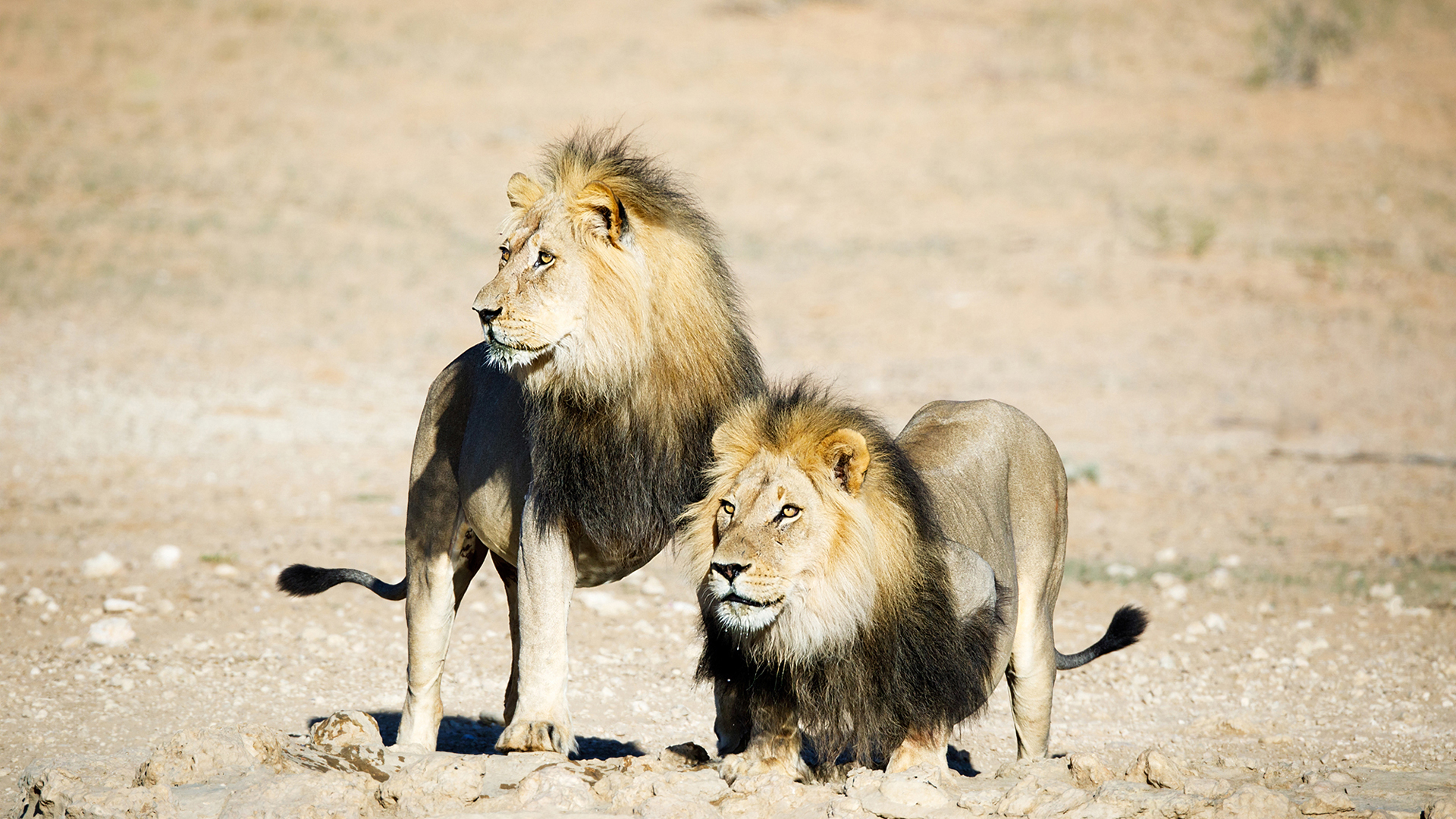 Botswana Region Central Kalahari two black mane lions