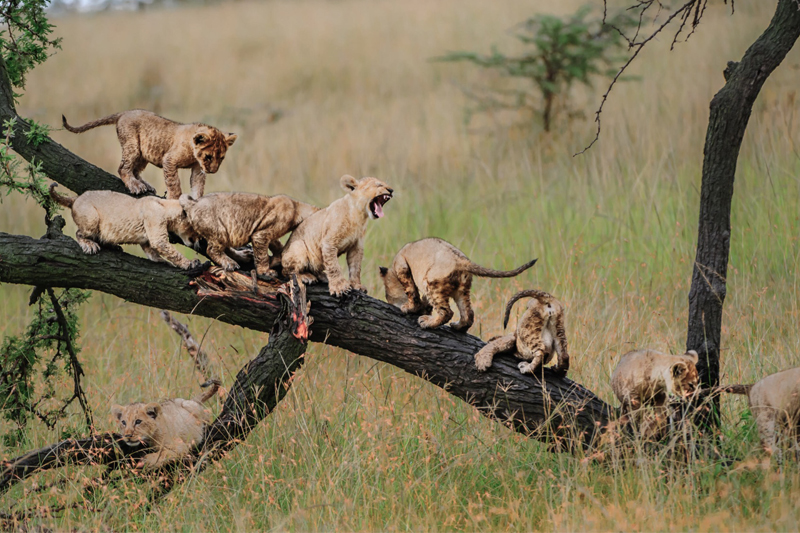 About Us lion cubs on branch