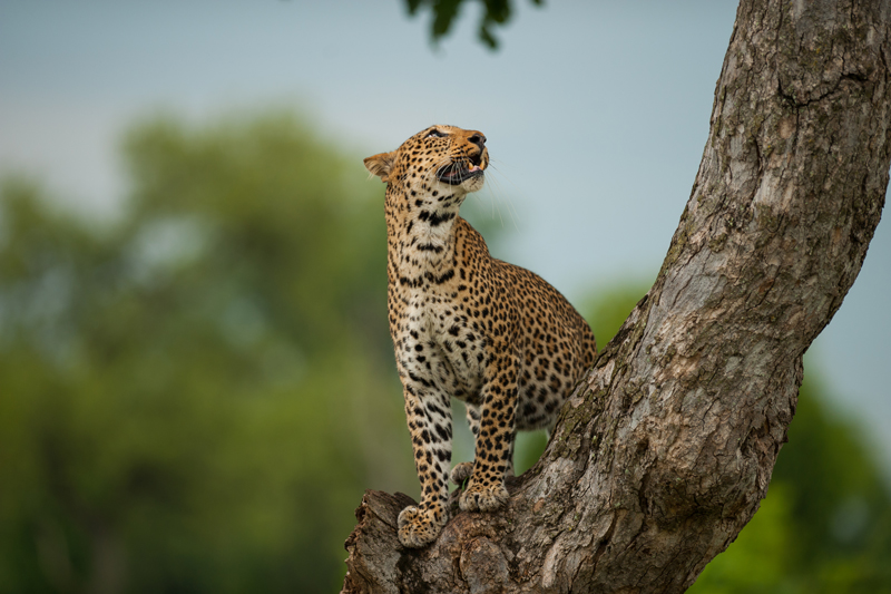 zambia regions kafue national park leopard tree