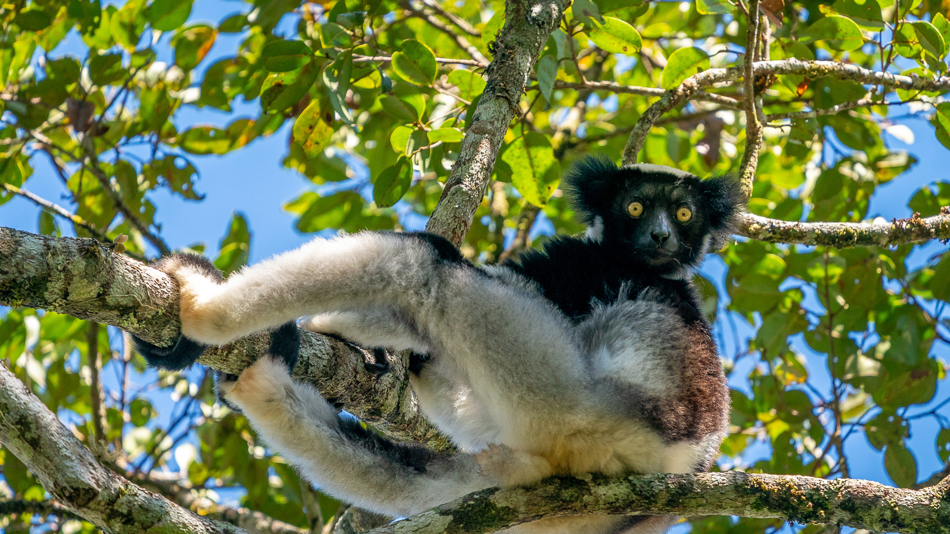 Madagascar header indri lemur in tree