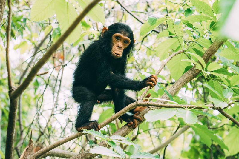 tanzania regions mahale greystoke chimp