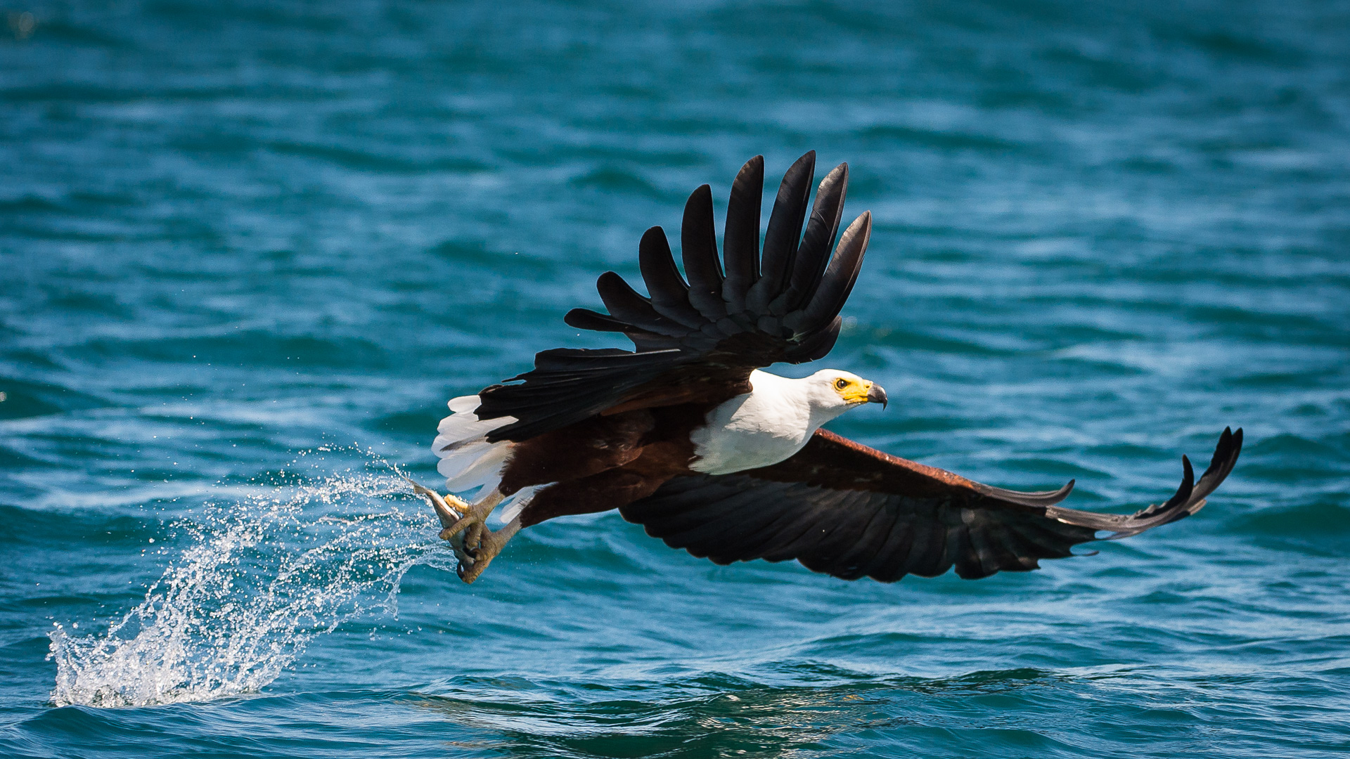 special interest bird watching fish eagle with catch