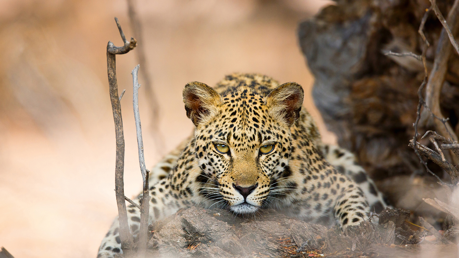 Species Search leopard close up
