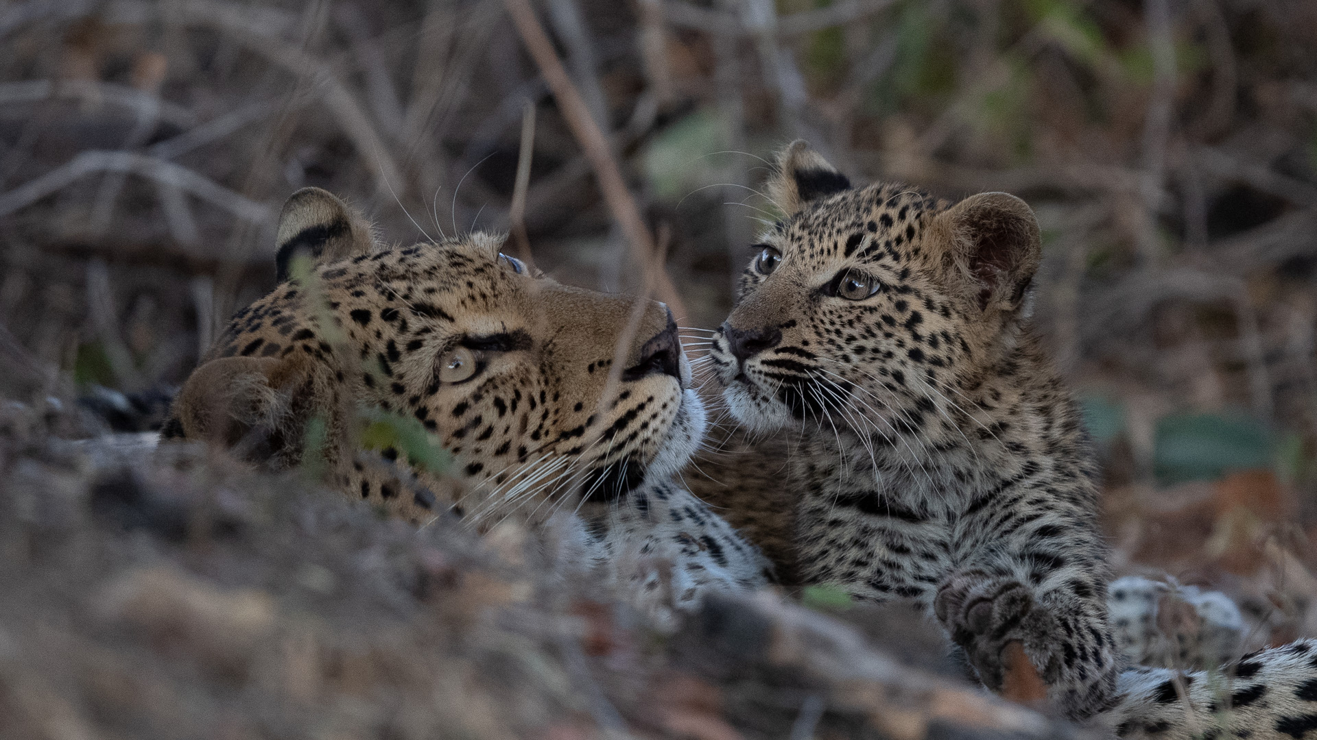 Terms and Conditions leopard and cub