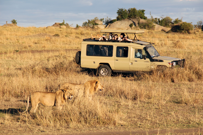 All About Safaris Great Value tanzania lions game drive