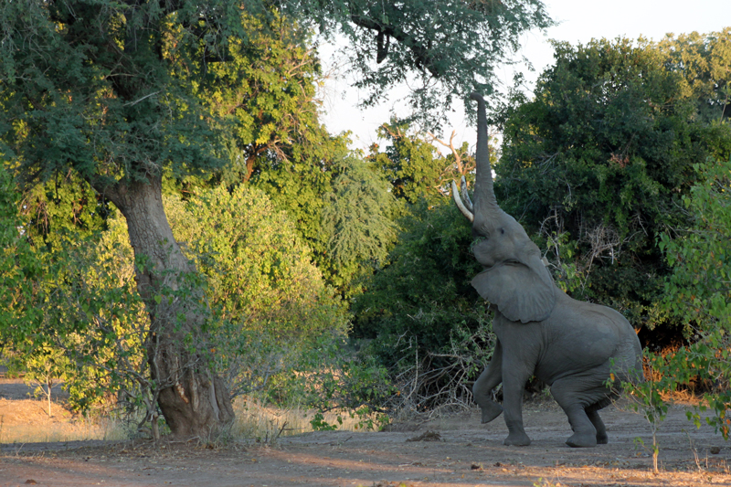 All About Safaris Great Value zimbabwe elephant reaching mana pools