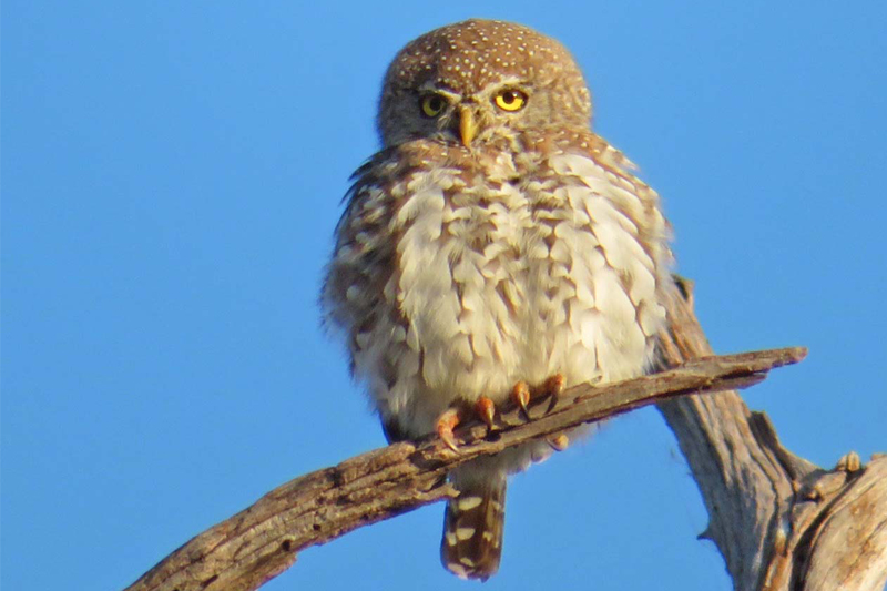 micheles bird list february 2018 pearl spotted owlet