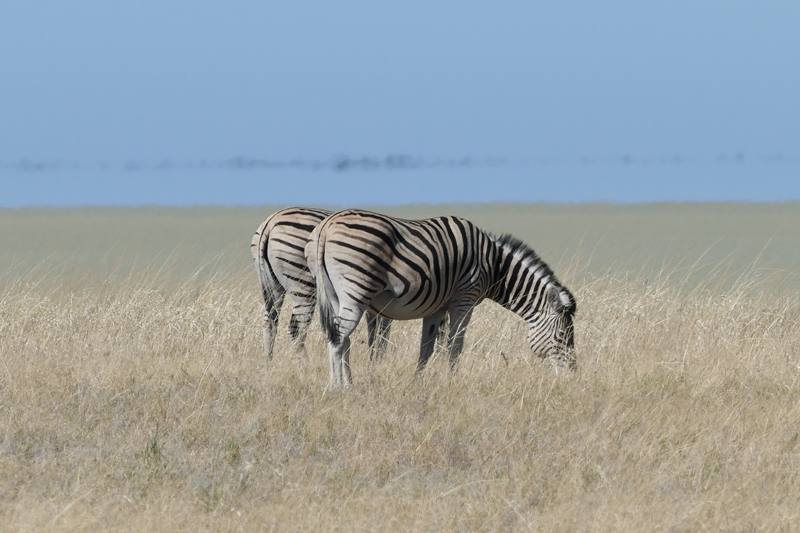 namibia topics wildlife highlights zebra