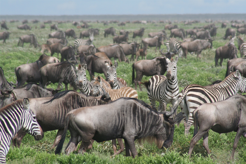 rob catches up with the migration herds in the southern serengeti march 2014