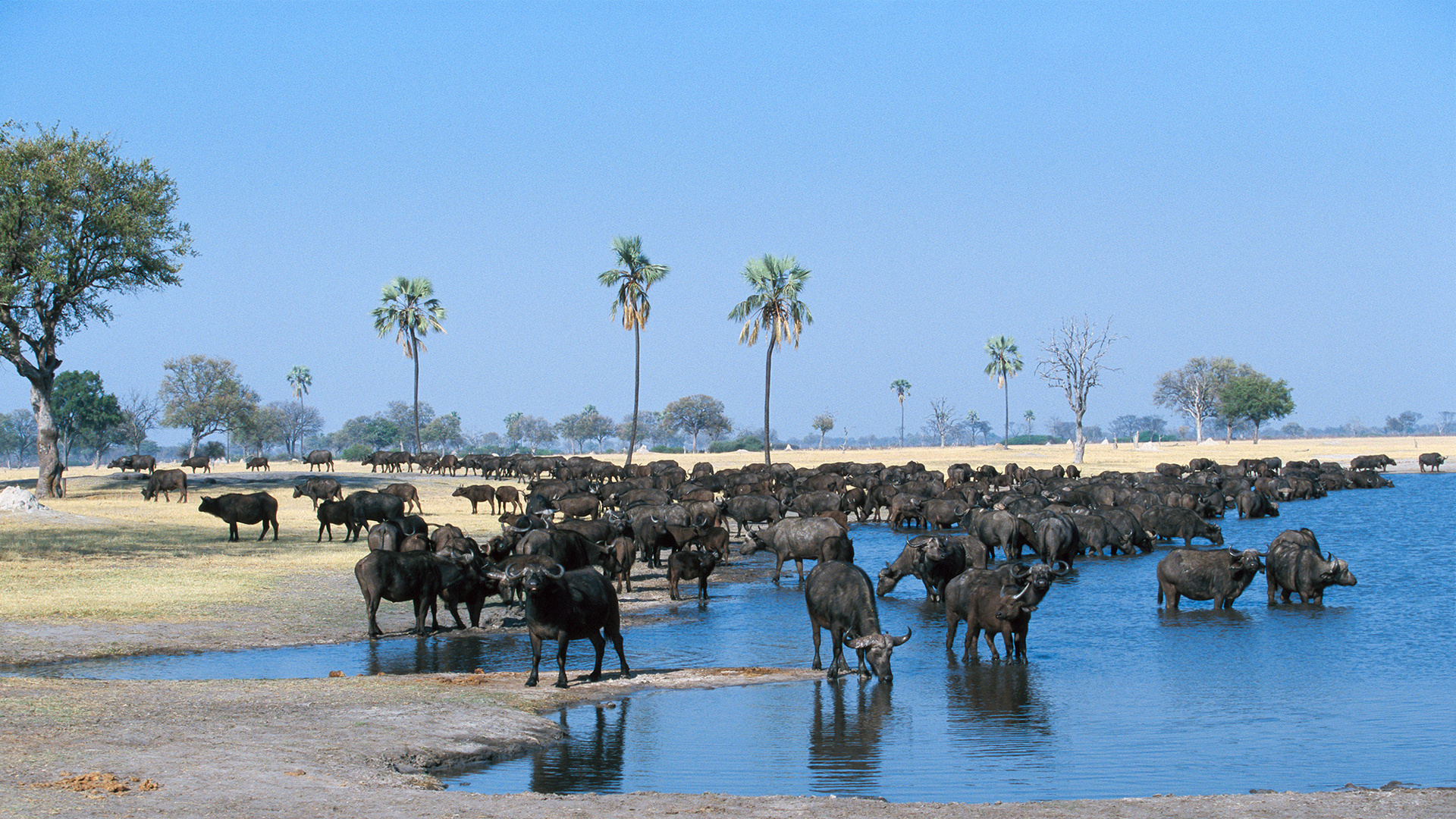 zimbabwe regions hwange national park buffalo herd in water