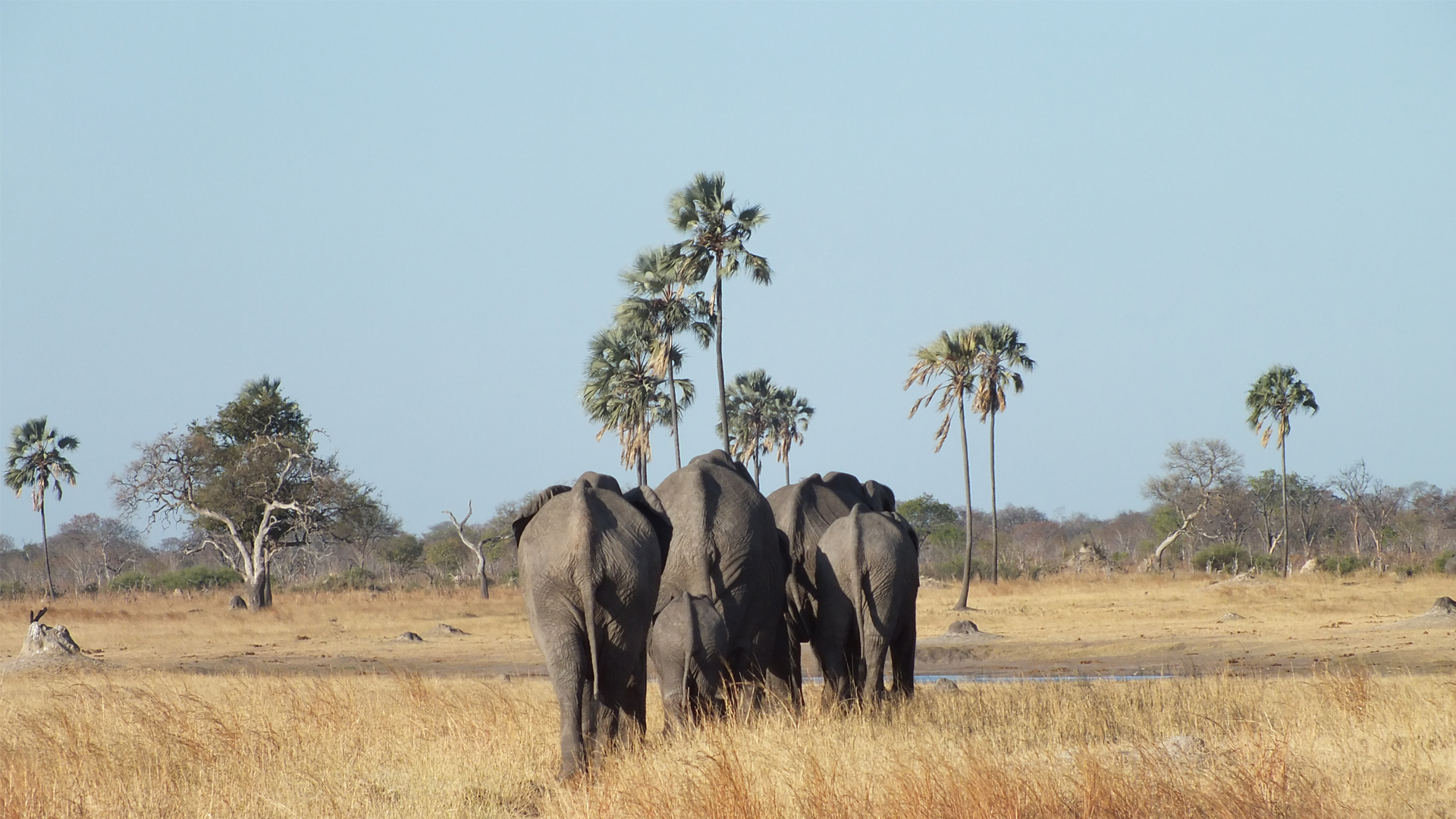 zimbabwe family elephants walking