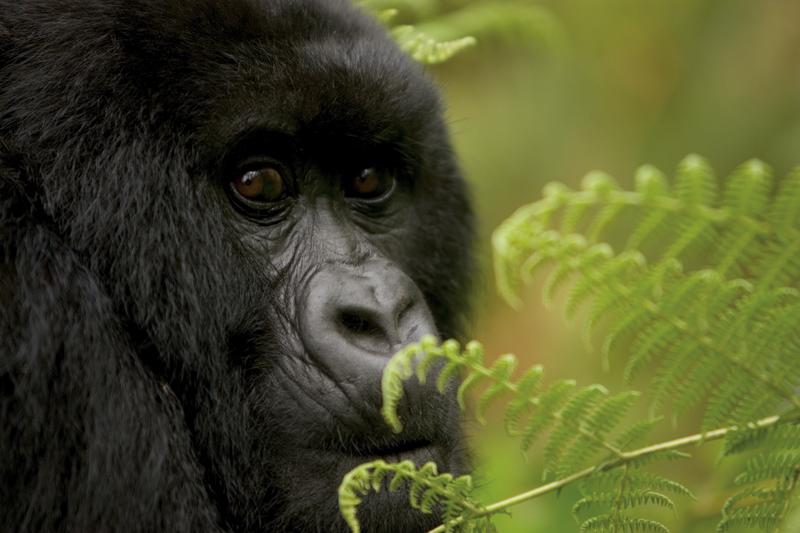 bwindi-gorilla