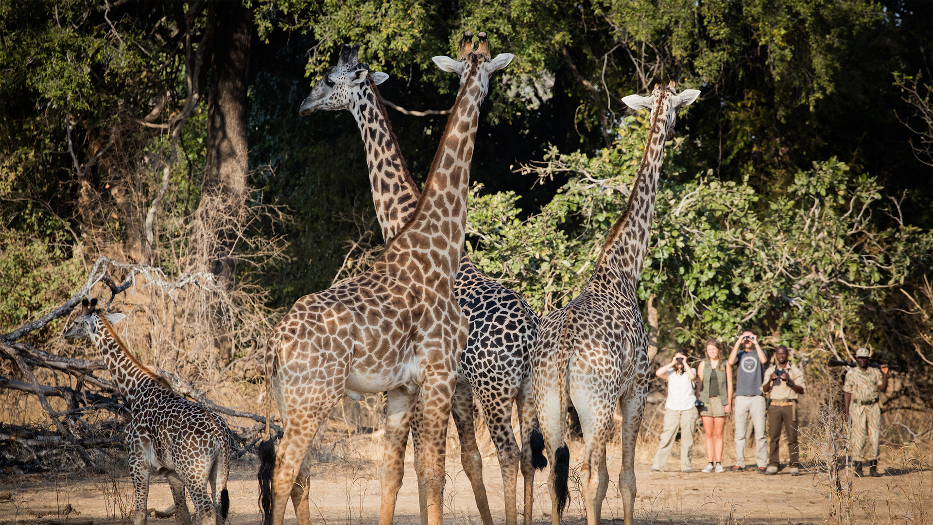 zambia-walking-Chikoko-Trails-Walking-Giraffe-C_RAS
