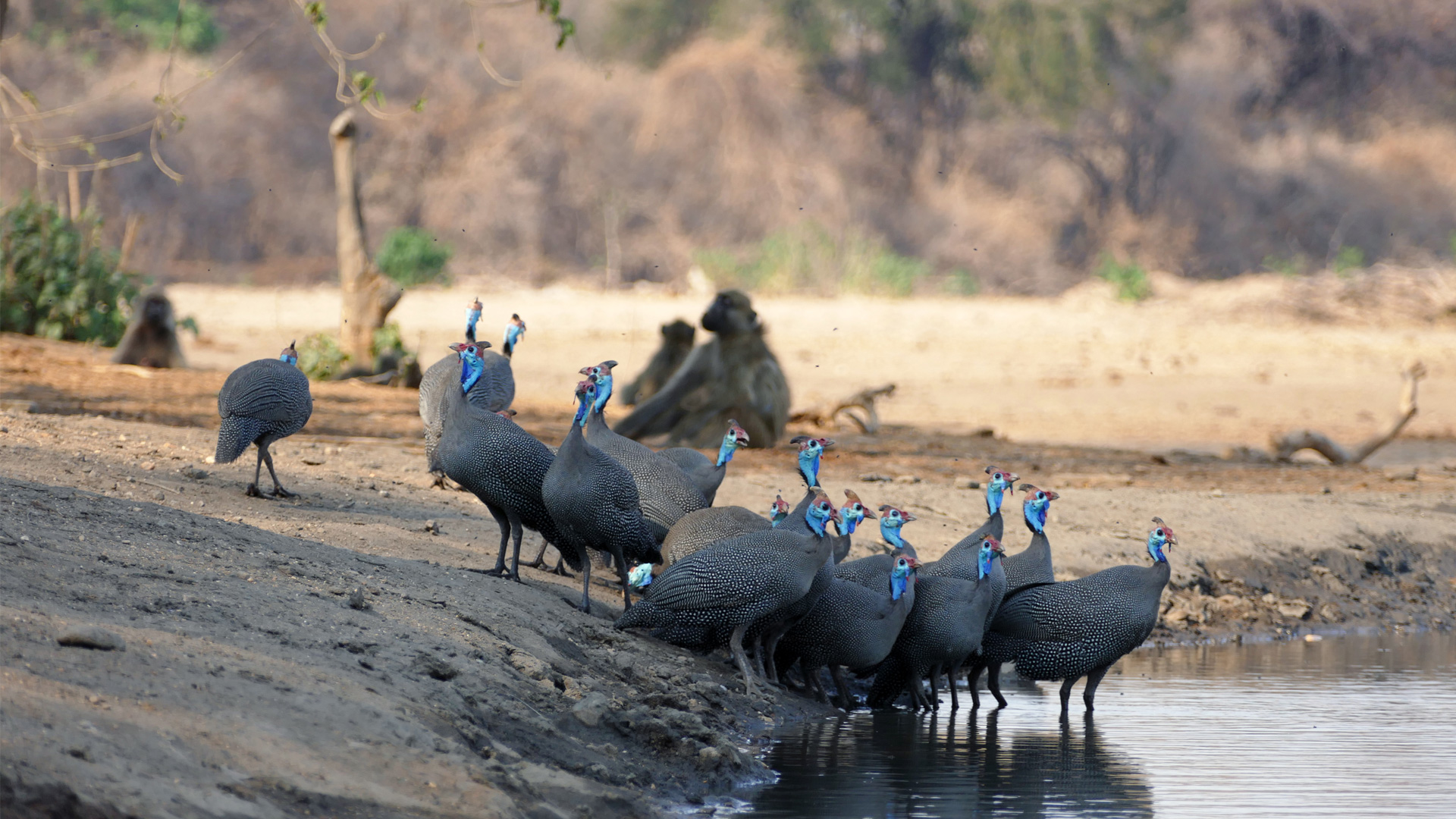 1-reviews-and-testimonials-new-header-guineafowl-rob-photo