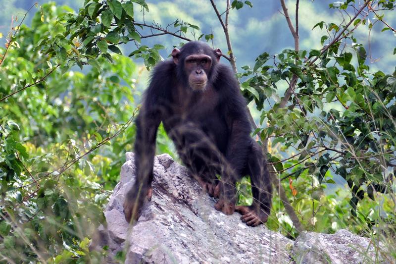 2 rob Rubondo Island chimp SC_RS
